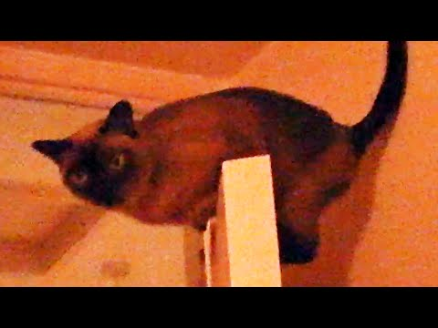 Cat Door Surfing Chocolate Burmese