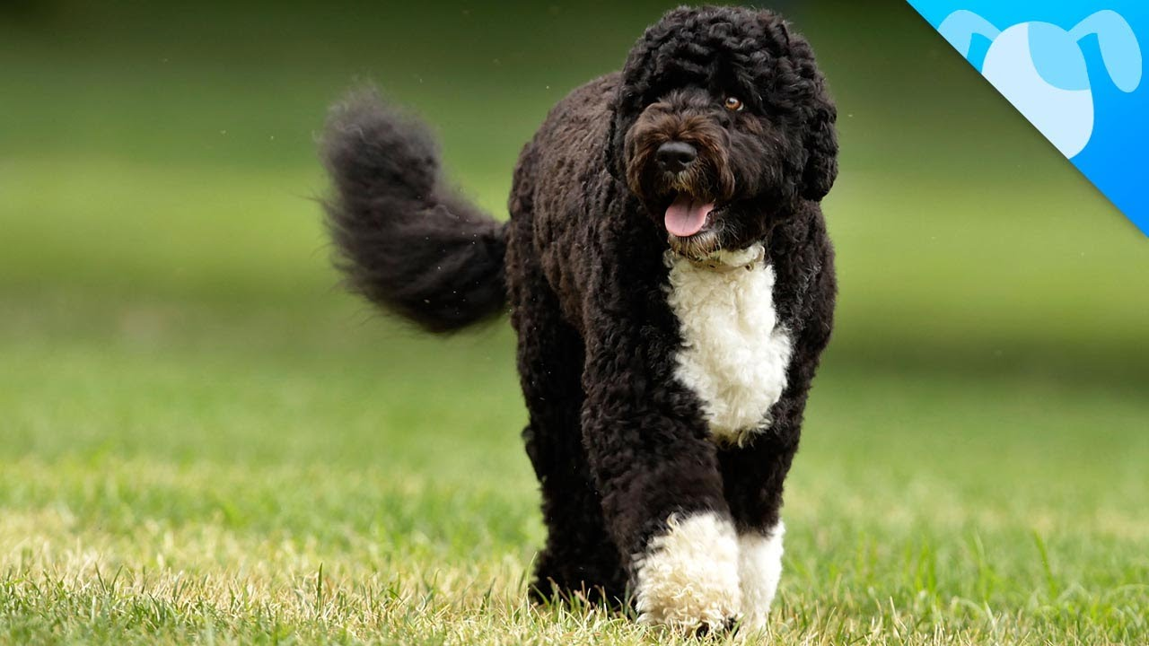 Portuguese Water Dogs Facts