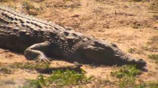 Дикая природа Африки Жирафы бегемоты зебры антилопы под надзором крокодила :)