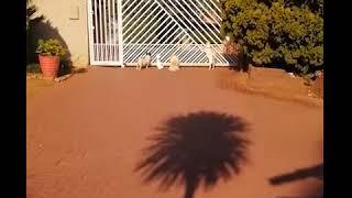 Попугай, выросший среди собак, в ЮАР :)