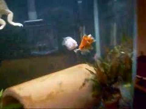 Goldfish Eats Minnow
