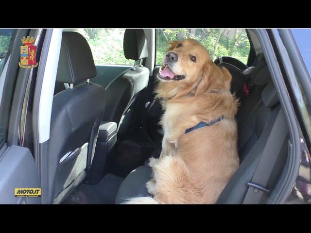 Polizia Stradale In Azione Come Trasportare Il Cane In Auto Youtube