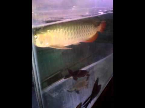Arowana Red tail golden (RTG)