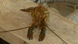 В Астраханской области производят австралийских голубых раков