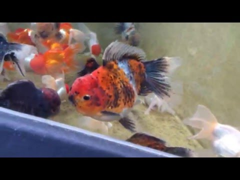 big oranda goldfish  red cap  ronaldo