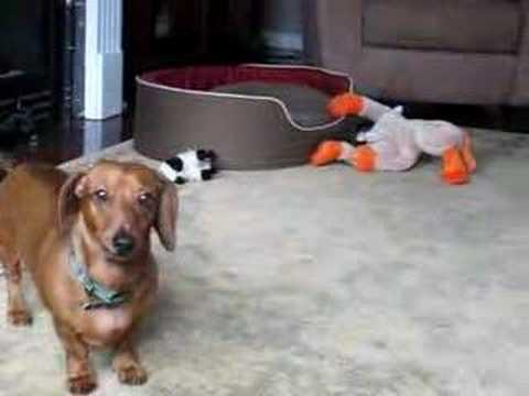 funny dachshund youtube