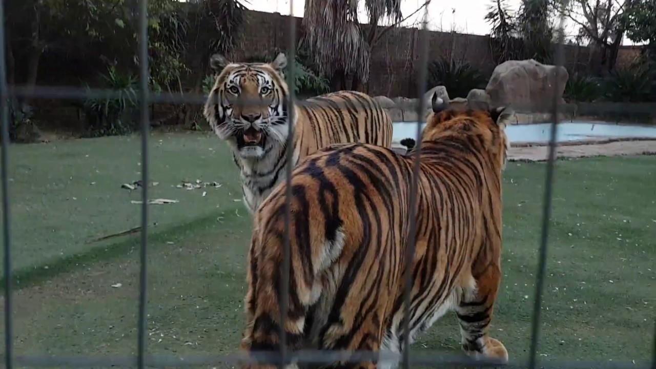 Youtube catnip tiger / Star coin codes november 2018 january