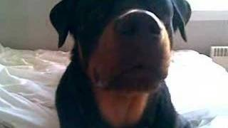 Rottweiler Puppy Barking Funny As Hell!!!
