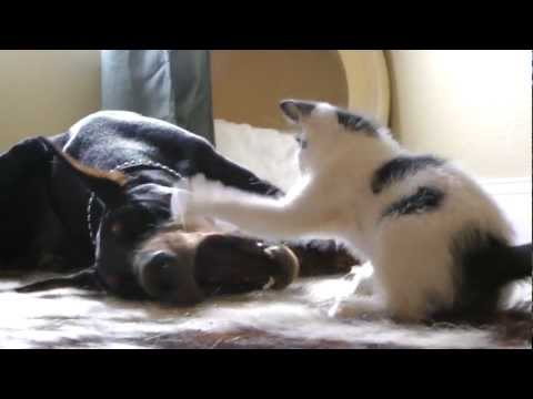Tiny Kitten Takes On Big Doberman Again - Round 2!