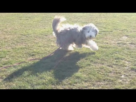 Training Rosie at the park (bearded collie)