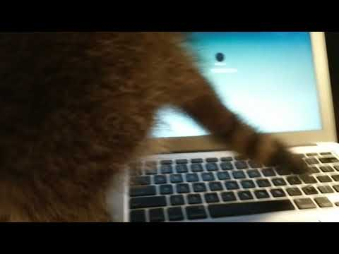 Sweetie the Raccoon getting a computer lesson