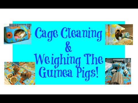 GoPro Cage Clean & Guinea Pig Weigh In