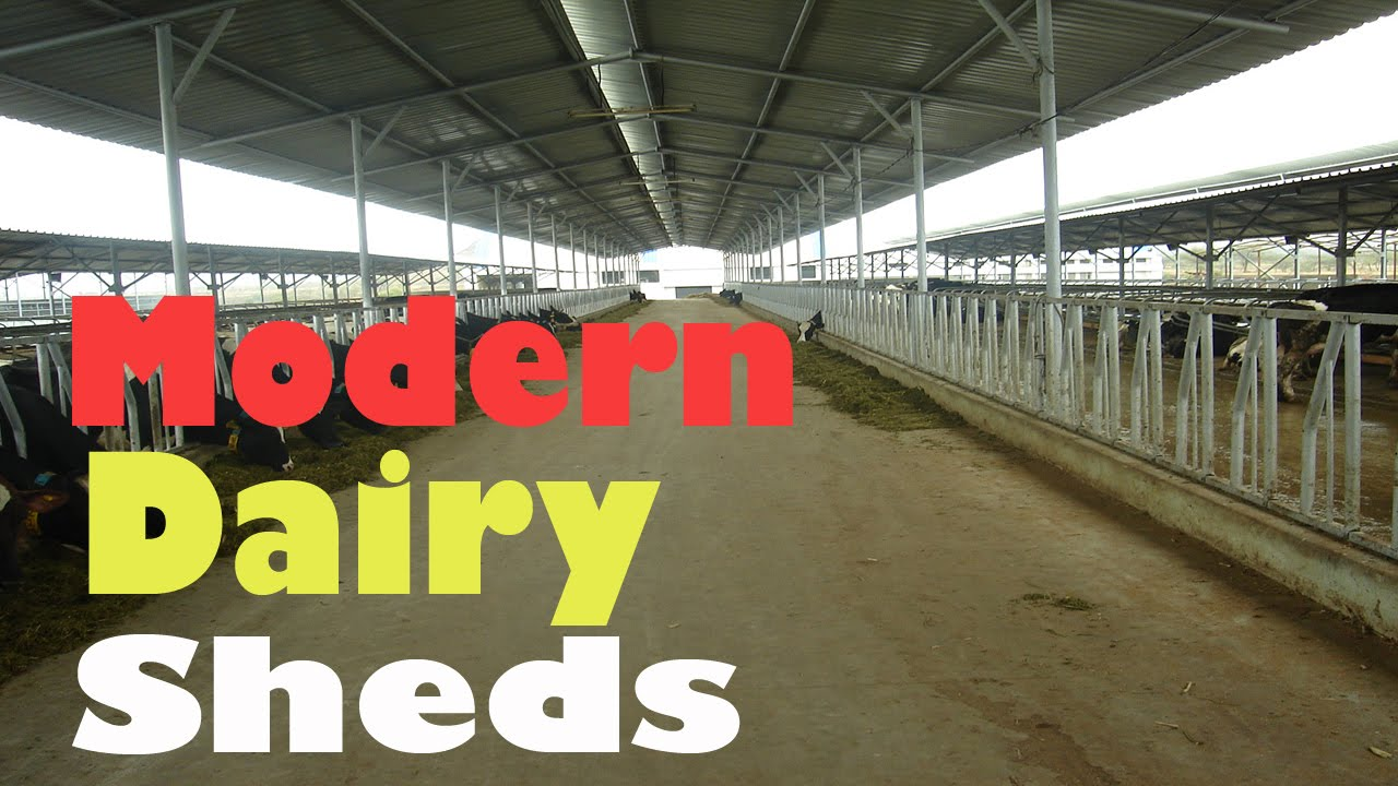 Dairy shed modern dairy shed 2016 dairy farming success youtube
