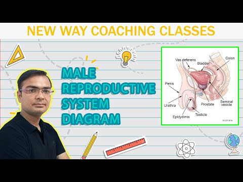 (new) How to draw human male reproductive system easily ...