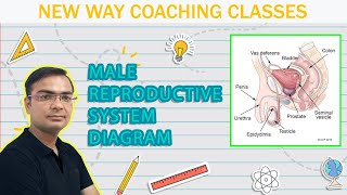 (new) How to draw human male reproductive system easily?