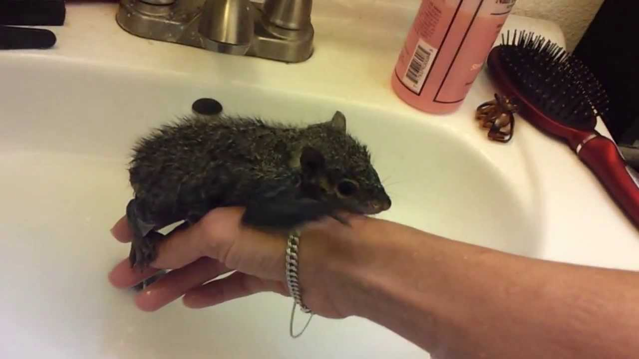 Baby Squirrel Sugar Taking Her First Bath Youtube