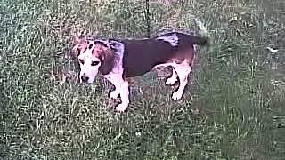 Shepherdsgundogkennels.com Has Gundog Bluetick Beagle For Sale