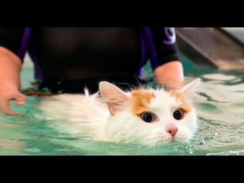 Порода кошек, которые любят воду! Турецкая ван.