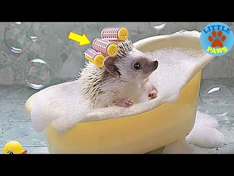 Funny and Cute Hedgehog Compilation