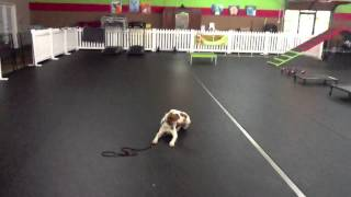 "1.5 Year Old Brittany ""izzy"" Dog Training Charlotte North Carolina"