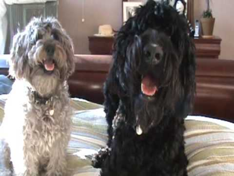 Giant Schnoodle And Mini Schnoodleing In The Morning Youtube
