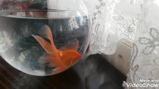 Fanusta balık nasıl bakılır 👍fanus # temizleme # fenomen #Japon  balık 👍açıklama kısmını okuyunuz