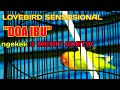 Doaibu Lovebirdfigther Aksi Fenomenal Lovebird Doa Ibu Ngekek Hingga  Menit  Detik Satu Tarikan  Mp3 - Mp4 Download