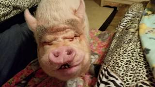 MINI PIG NIGHT TIME ROUTINE 💖 Sweet dreams & Sleep with The Angels 😇