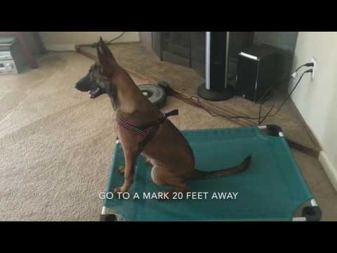 Belgian Malinois Puppy | Trick Dog Champion