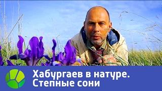 Степные сони  Хабургаев в натуре | Живая Планета