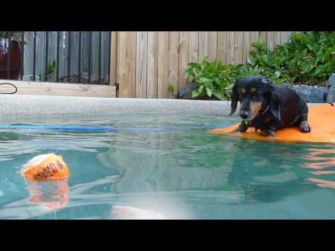 Our dachshund swimming in our pool