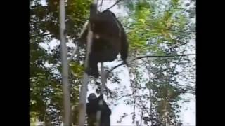 Baby Chimp getting killed by adult Chimp