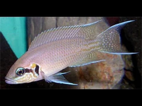 HOW TO:keep Fairy Cichlids (Neolamprologus Brichardi)