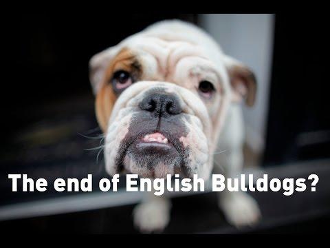 Bulldogs face breeding crisis