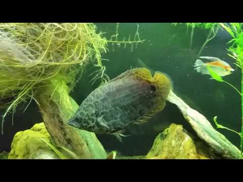 Spotted African Leaf Fish In My Planted Tank