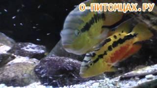 видео Цихлазома Сальвини
