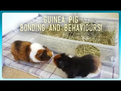 HOW TO: Introduce and Bond Guinea Pigs! | Squeak Dreams