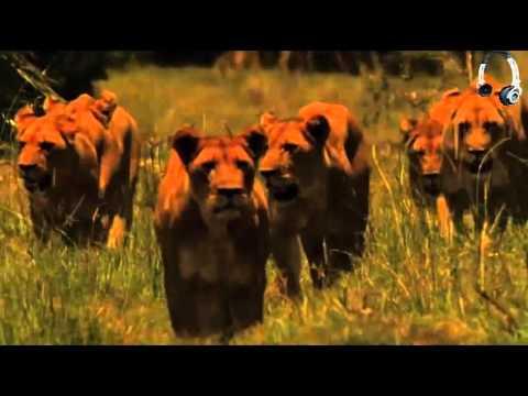 [Vietsub] Bầy Sư Tử Cuối Cùng - The Last Lions - Không xem thì phí