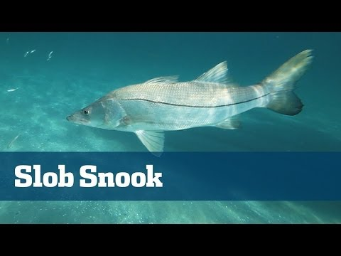 Slob Snook Fishing On Light Tackle Outside South Florida Inlets