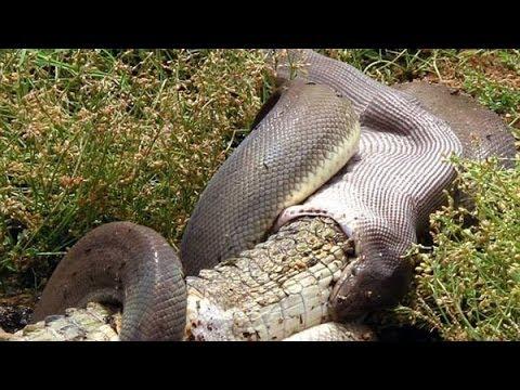 SNAKE EATS CROCODILE IN AUSTRALIA - Python devours crocodile in 15 minutes!