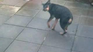Rottweiler Jumping Around Her Bone