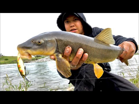 Sucker FISH | BOW River | Calgary Fishing | Using CSTHandmadelures | ReelinwithJ