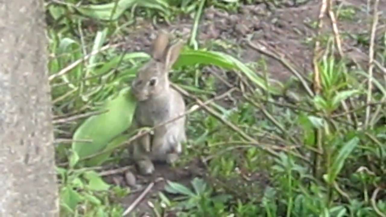 Do Rabbits Eat Hostas
