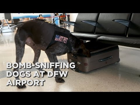 Meet two very good boys sniffing explosives at DFW Airport ...