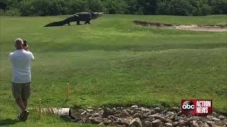 Goliath gator spotted at Palmetto golf course