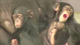 Download Video チンパンジー 双子の赤ちゃん101  Chimpanzee twin baby MP3 3GP MP4