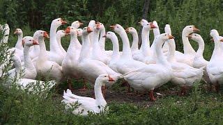 видео Разведение гусей как бизнес