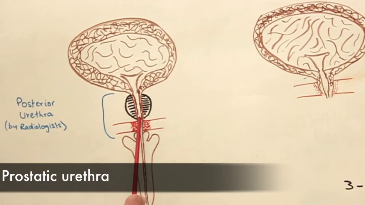 The Anatomy of the Urethra - YouTube