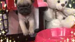 Teacup Puppy For Sale! Tiny Size Pug, I Like Her!