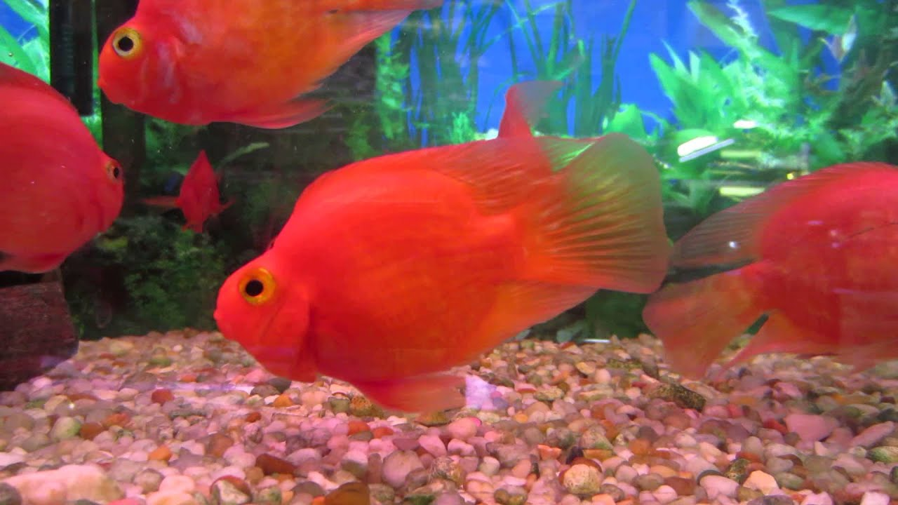 Fish Tank Wallpaper Hd Blood Red Parrot Fish From Market Village Scarborough On
